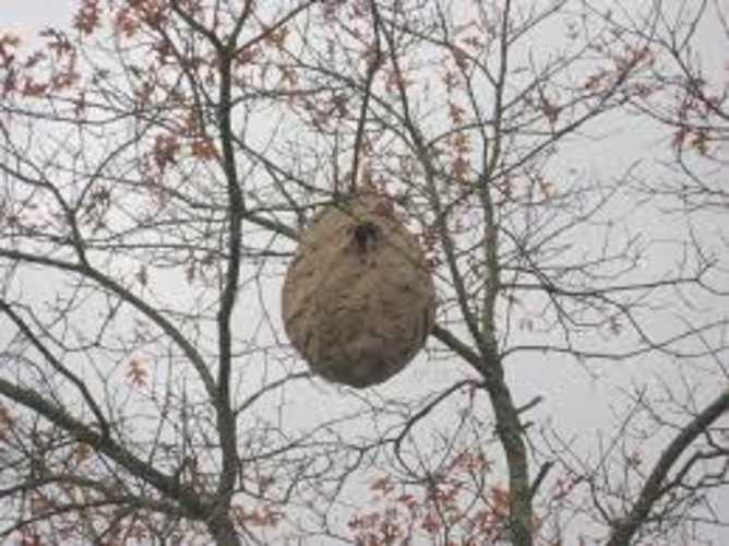Les frelons asiatiques nid